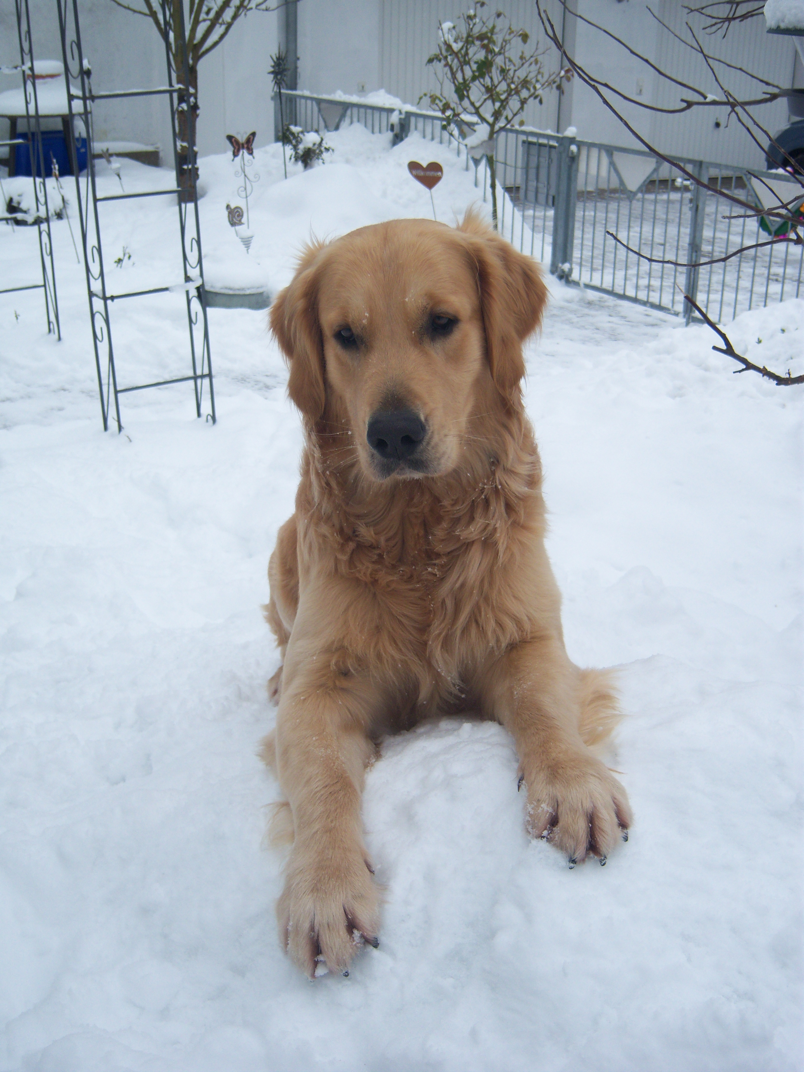Ben Golden Retriever